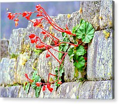 Acrylic Print featuring the photograph Flower In An Inca Wall by Nigel Fletcher-Jones