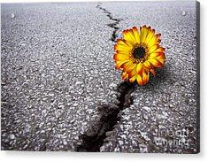 Flower In Asphalt Acrylic Print by Carlos Caetano