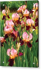 Flower - Iris - Gy Morrison Acrylic Print by Mike Savad