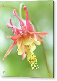 Flower Of Columbine,   Aquilegia Acrylic Print by Jim Hughes