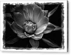 Flower Of One Night Acrylic Print by Tom Bell