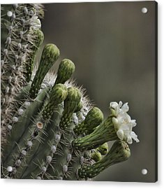 Flower Of The Saguaro Acrylic Print