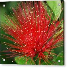 Flower Optics 3 Acrylic Print by Debbie May