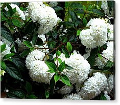 Flower Snow Balls Acrylic Print by Valerie Ornstein