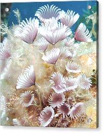 Flower Tube Worms Acrylic Print by Cherry Woodbury