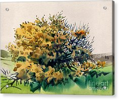 Flowering Acacia Tree Acrylic Print by Donald Maier