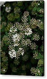 Flowering Bush Acrylic Print by Robert Ullmann