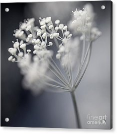 Acrylic Print featuring the photograph Flowering Dill Cluster by Elena Elisseeva