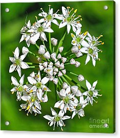 Flowering Garlic Chives Acrylic Print by Kaye Menner