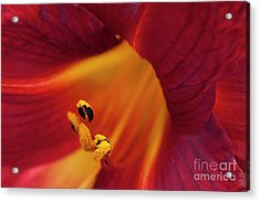 Flowering Hibiscus Red Yellow Pistils Acrylic Print