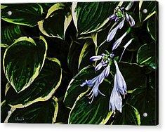 Flowering Hosta Acrylic Print
