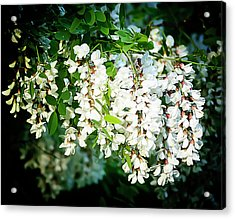 Flowering Locust 2 Acrylic Print by Michael Putnam