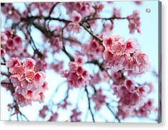 flowering of the almond tree, Jerusalem Acrylic Print by Yoel Koskas
