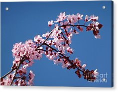 Flowering Of The Plum Tree 4 Acrylic Print