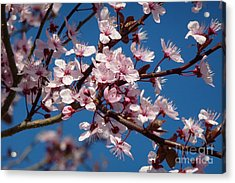 Flowering Of The Plum Tree 5 Acrylic Print by Jean Bernard Roussilhe
