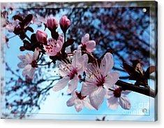 Flowering Of The Plum Tree 6 Acrylic Print by Jean Bernard Roussilhe