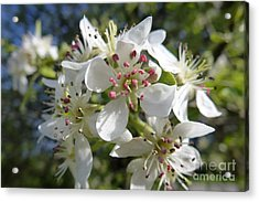 Flowering Of White Flowers 2 Acrylic Print