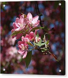 Flowering Pink Dogwood Acrylic Print by Frank Mari
