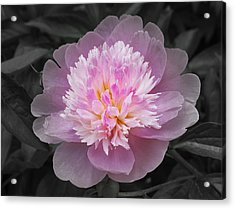 Flowering Spring Peony In Pink And Grey Acrylic Print by Garth Glazier