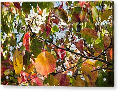 Flowers In Pear Tree Digital Art Acrylic Print by Sherry  Curry