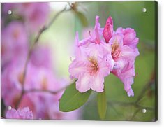 Flowers Of Pink Rhododendron Acrylic Print