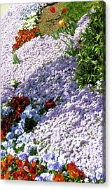 Flowing Phlox Acrylic Print by Jan Amiss Photography