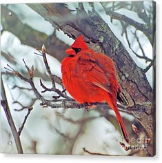 Fluffed Up Male Cardinal Acrylic Print
