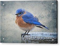 Fluffy Bluebird Acrylic Print by Bonnie Barry