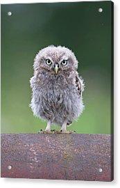 Fluffy Little Owl Owlet Acrylic Print