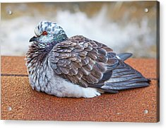 Fluffy Pigeon Acrylic Print by Stephanie Hayes