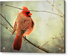 Fluffy Winter Cardinal Acrylic Print