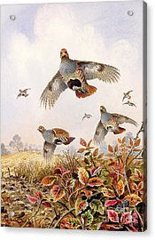 Flushed Partridges Acrylic Print by Carl Donner