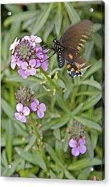 Fluttering Acrylic Print by Charlie Osborn