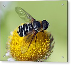 Fly On Flower Acrylic Print