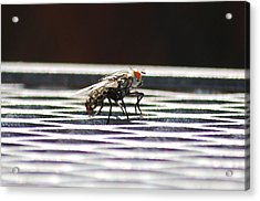 Fly Acrylic Print by Peter  McIntosh