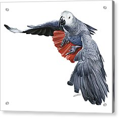 Flying African Grey Parrot Acrylic Print by Owen Bell