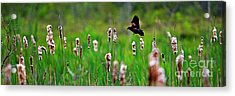 Flying Amongst Cattails Acrylic Print by James F Towne