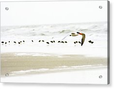 Tern In Flight Acrylic Print by Angela Rath