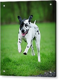Flying Ares Acrylic Print by Andy-Kim Moeller