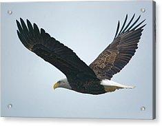 Flying Bald Eagle Acrylic Print