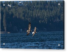 Flying Bald Eagles Acrylic Print