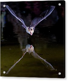 Flying Bat With Reflection Acrylic Print