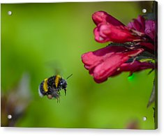 Flying Bumblebee Acrylic Print