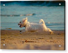 Flying Dog Acrylic Print by Harry Spitz
