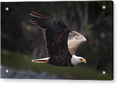 Acrylic Print featuring the photograph Flying Eagle by David A Lane