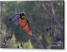 Flying Fox In Mid Air Acrylic Print