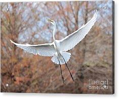 Flying Great Egret In Brown Acrylic Print by Carol Groenen