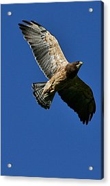 Flying Hawk Under A Blue Sky Acrylic Print