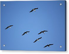 Flying In Formation Acrylic Print