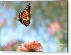 Flying Monarch Acrylic Print